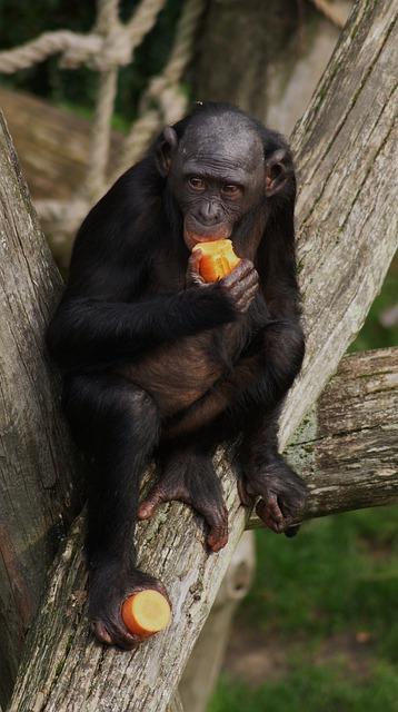 bonobo-810549_640